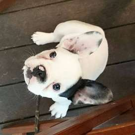 canino bulldog frenchie entrega inmediata de 45 dias
