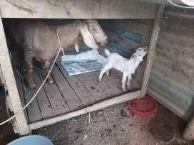 Cabra lechera con cría