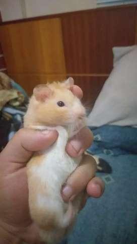Adopta 1 hamster