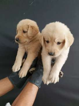 Golden retriever que marcan la diferencia