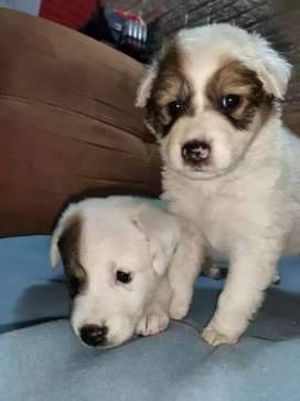 Perritas Collie/french poodle  hembras