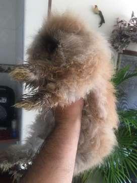 Vendo hermosas conejas cabeza de leon muy bien cuidadas y aliemtadas, blanca ojos azules y color dorado