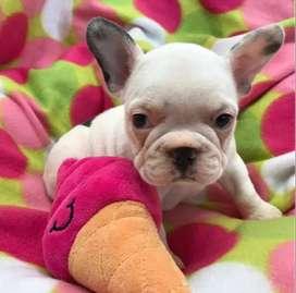 Bebe bulldog frances los mejores colores