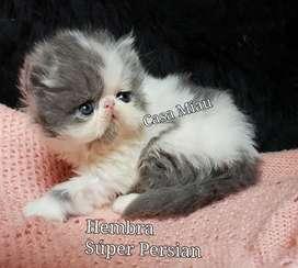 Gatos Gatitos Persa La gatera de La Casa Miau
