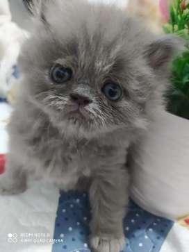 Hermosas gaticas persa en venta