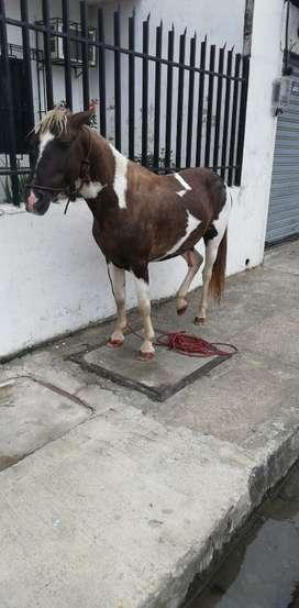 Pony Colombiano