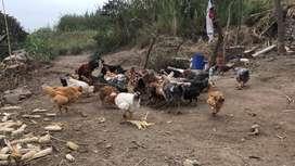 Gallinas gallitos pollas de 3 meses Huaral - Tronconal