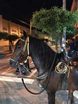 Vendo Hermoso caballo Paso fino