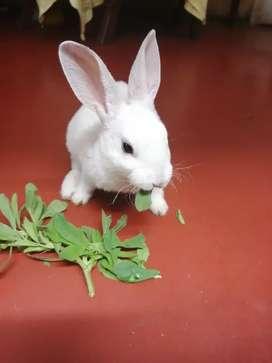 Se venden conejos rex antialergicos