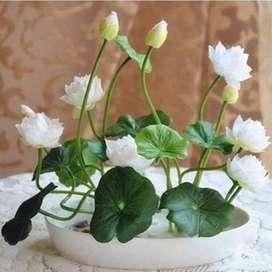 Flor de Loto en Plantula O Su Semilla