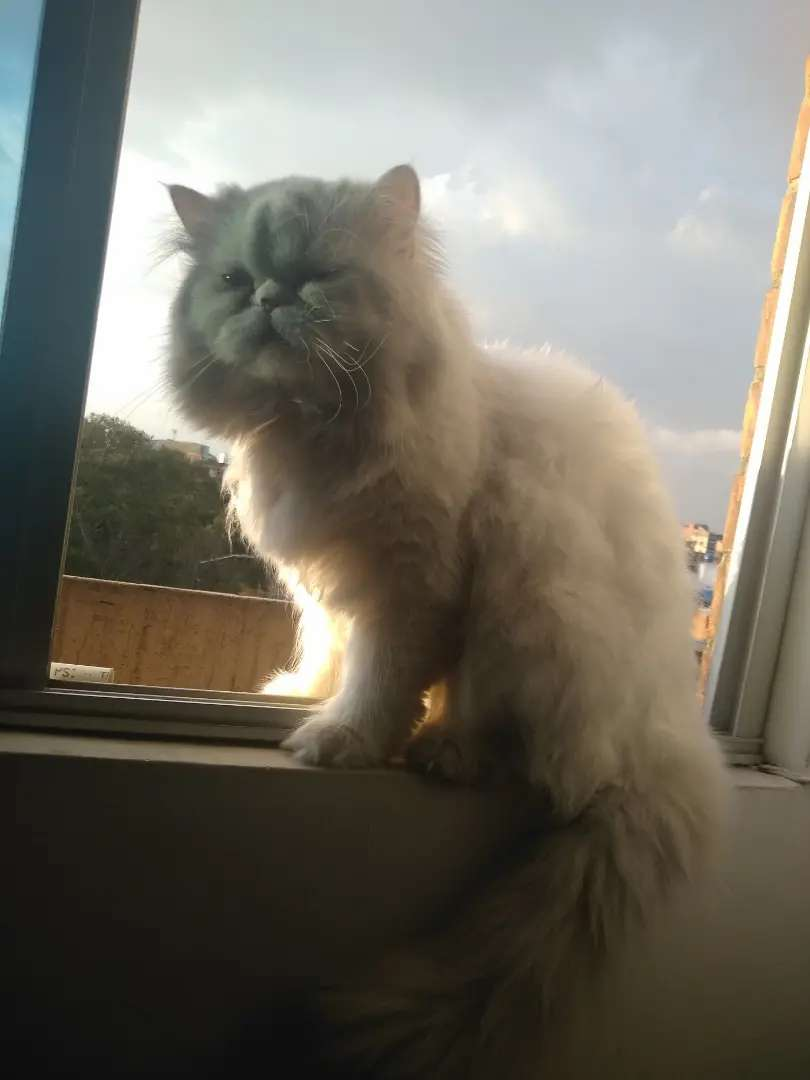 Gato persa monta