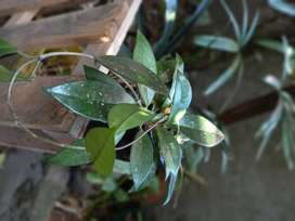 gp1160 Planta de nácar