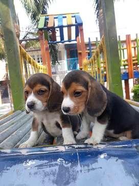 Mini beagle hermosos
