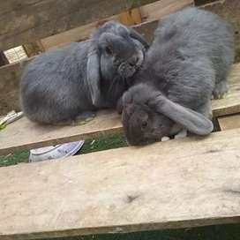 Conejo macho orejas caída muy lindo