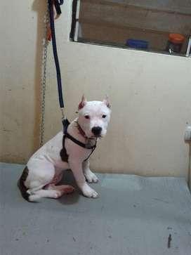 De venta cachorro pitbull tiene 4 meses .