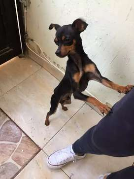 Perrito Pincher de 1 año