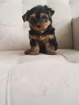 Yorkshire terrier hermosa tiene 75 días de nacida