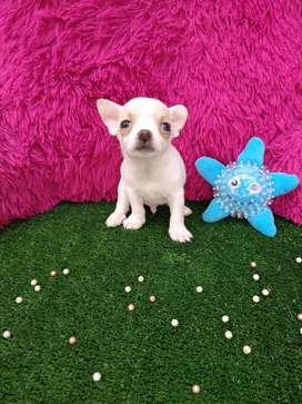 Chihuahuas toys hembras