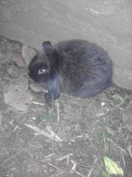 Conejos Holland Lop gazapos