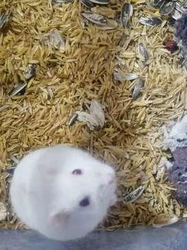Se venden hamster rusos de dos meses de edad