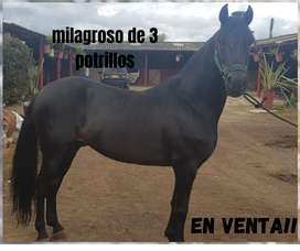 caballo de paso fino colombiano