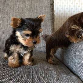 yorky minis disponibles.