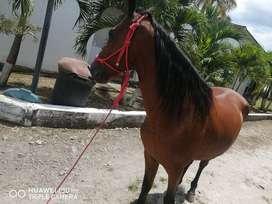 vendo caballo paso fino puro