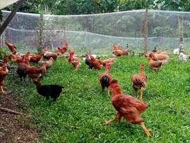 Pollos camperos y criollos