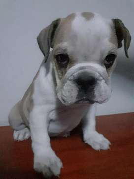 Se vende cachorros bulldog ingles de 2 meses