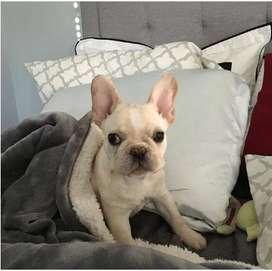 Bulldog fawn cachorro frenchee, 55 dias.