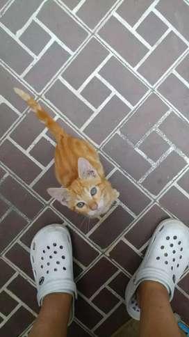Adopte Gatito Atigrado Marron Claro