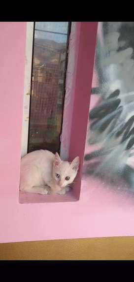 Gato Angora Turco Ojos Bicolor