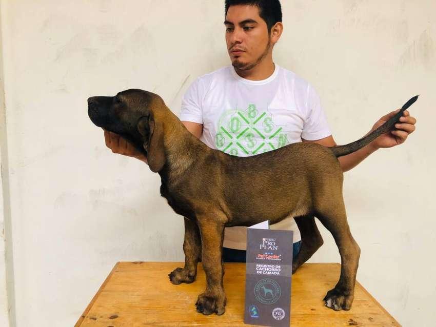 Cachorros Fila Brasilero 0