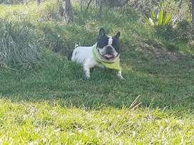 Hermoso bulldog francés para monta