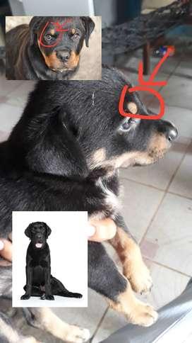 Cachorro Rowallier
