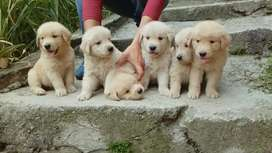 DISPONIBLE CACHORRAS GOLDEN RETRIEVER
