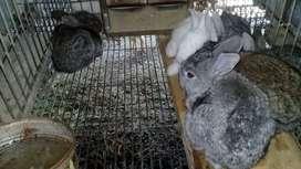 conejos de 30 días
