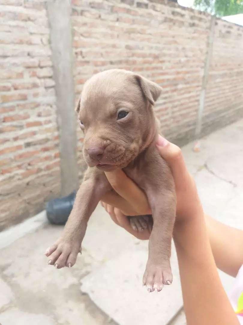 Cachorros pitbull 0