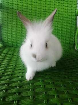 Vendo conejo cabeza de Leon