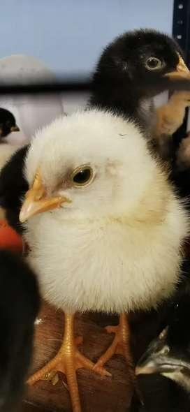 Pollitos criollos Huevo azul