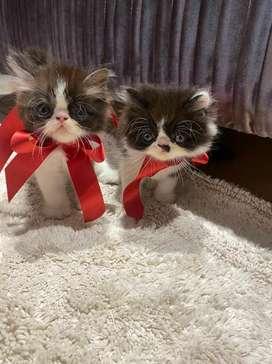 Hermosos gatos persa / exoticos / extremos