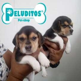 En Cali cachorro beagle en venta