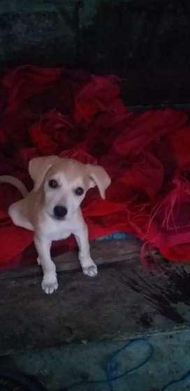 Vendo perrito labrador retriever de 3 meses sus bacunas al dia