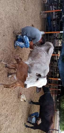 Venta de vacas tipo leche