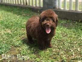 Cachorrito poodle  chocolate