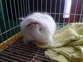 Cobaya coballa conejillo de indias cuy cui cury curi angora peruano pelo largo