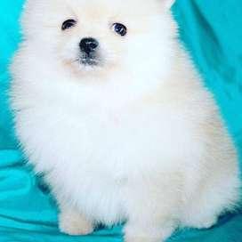 perros pomerania de 58 dias vacunados y desparasitados, hermosos