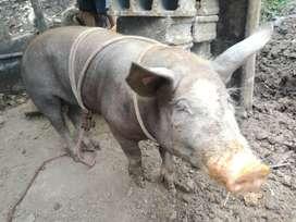Cerdo mamellado