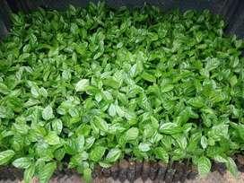 Maracuyá plantas certificadas alto rendimiento