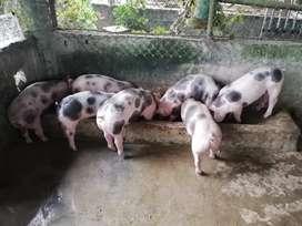 Se vende cerdo faenado
